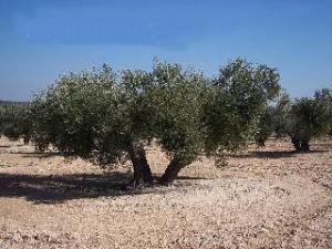 Los olivos son árboles característicos en el sur de España