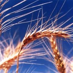 La levadura de cerveza y el germen de trigo