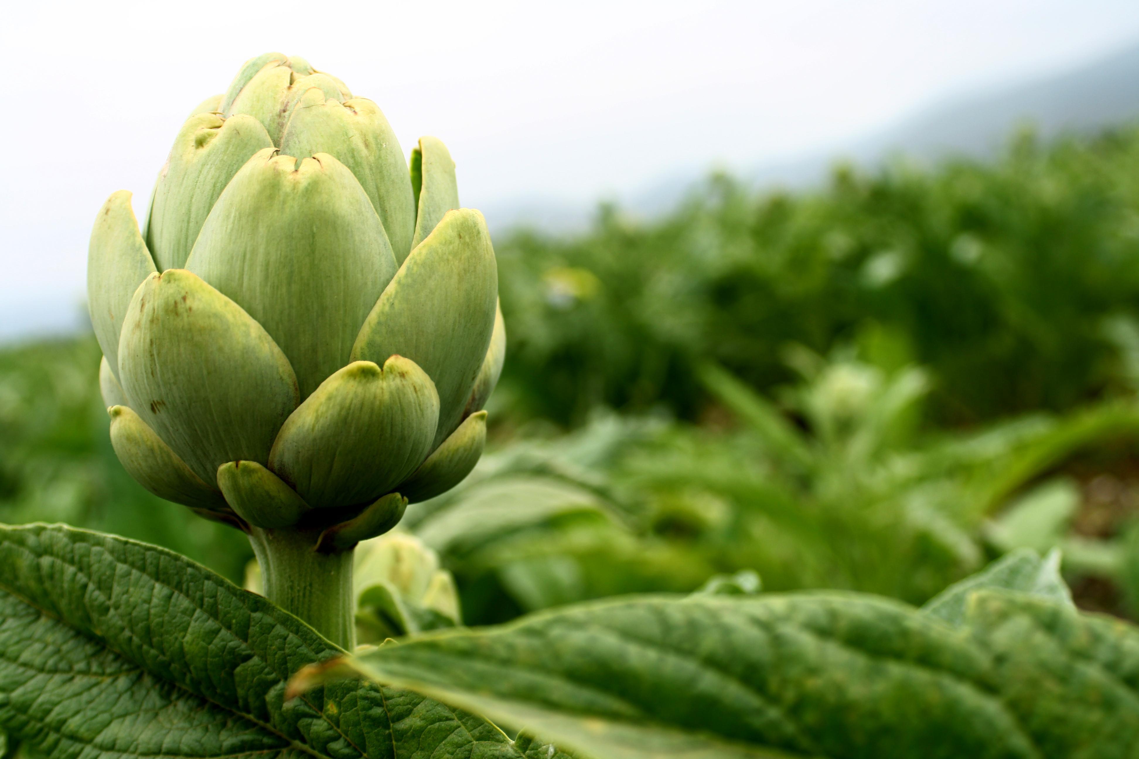 La alcachofa para perder peso