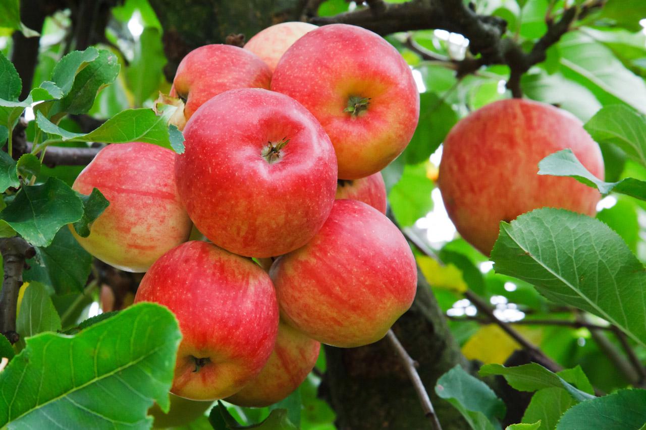 Manzana, una fruta que alarga la vida