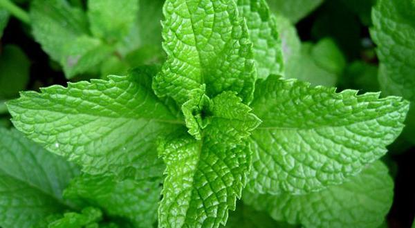 La menta, una de las plantas curativas más interesantes