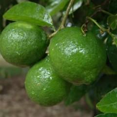 Vitaminas y protección gracias al limón