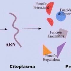 El funcionamiento de las proteínas en nuestro cuerpo, exceso y síntesis
