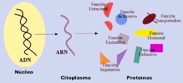 funciones-de-las-proteinas